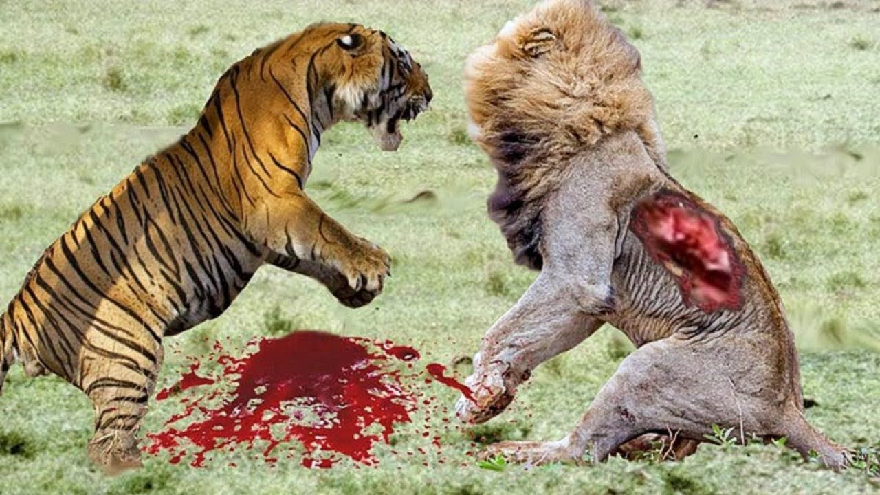tiger vs löwe