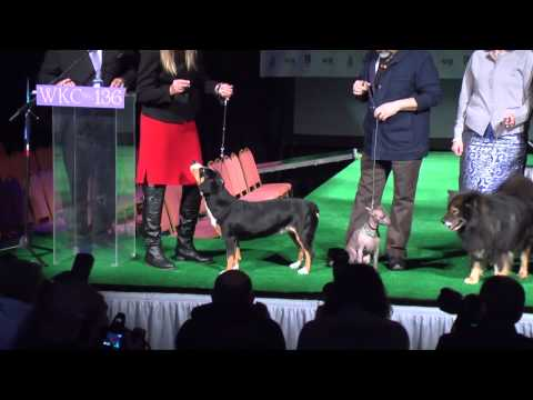 Meet the new breeds at 136th Westminster Kennel Club Dog Show 2012