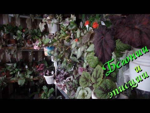 Бегония декоративно-лиственная и эписция на моих стеллажах. Июнь 2015  год