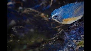 富士山奥庭でルリビタキとウソを鳥見しました