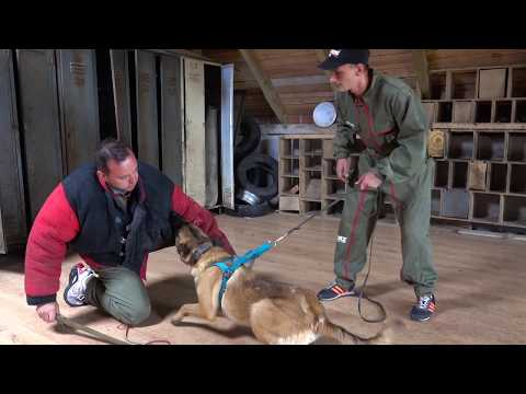 Castor Belgian Malinois Protection with Lucas and Kamil