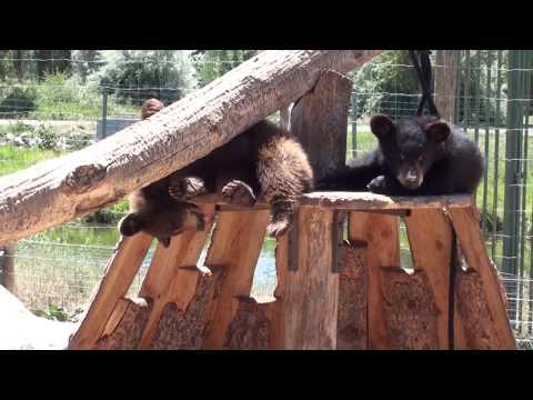 "Junge Bären in ""Yellowstone Bear World"" - Young Bears at ""Yellowstone Bear World"""