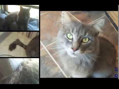 Bengal cat chronic diarrhea