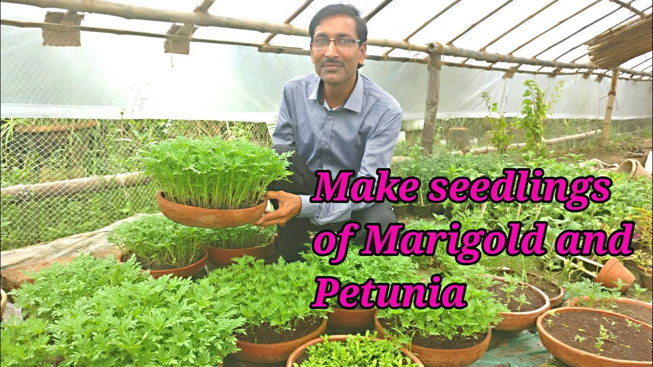 How To Make Seedlings Of Marigold And Petunia In The Most Perfect