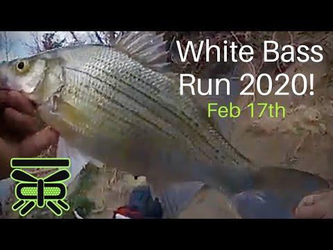 WHITE BASS RUN 2020! Feb 17th, Rowlett Creek