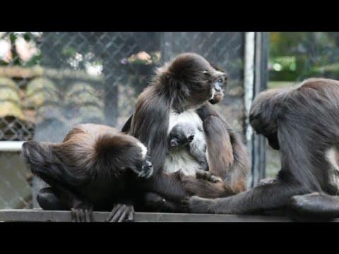Zoo en Colombia festeja nacimiento del amenazado mono araña
