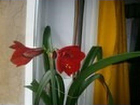 Фото домашняя лилия