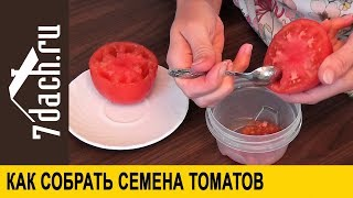 Как собрать и заготовить семена томатов - 7 дач