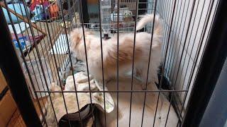りゅうちゃ2 小型犬 LIVE 24時間 定点カメラ チワワ マルチーズ ミニチュアダックスフンド ミックス にぼし大好き 体重3.5kg thumbnail