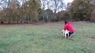Gun Dog Labrador Puppy Training Week 12