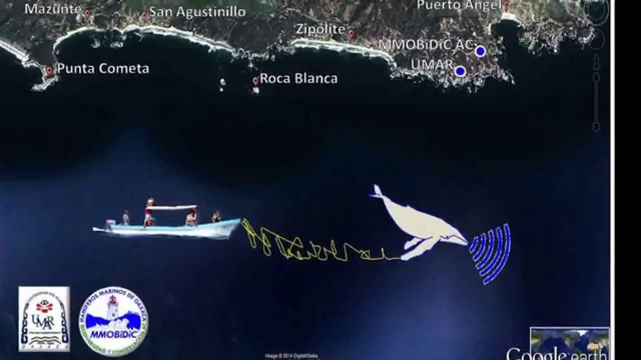 Corto que presenta el canto de ballena jorobada en la costa de Oaxaca, México. Material grabado en el Pacífico Sur mexicano por investigadores de la Universidad del Mar y Mamíferos Marinos de Oaxaca Biodiversidad y Coservación A. C. (MMOBIDIC)