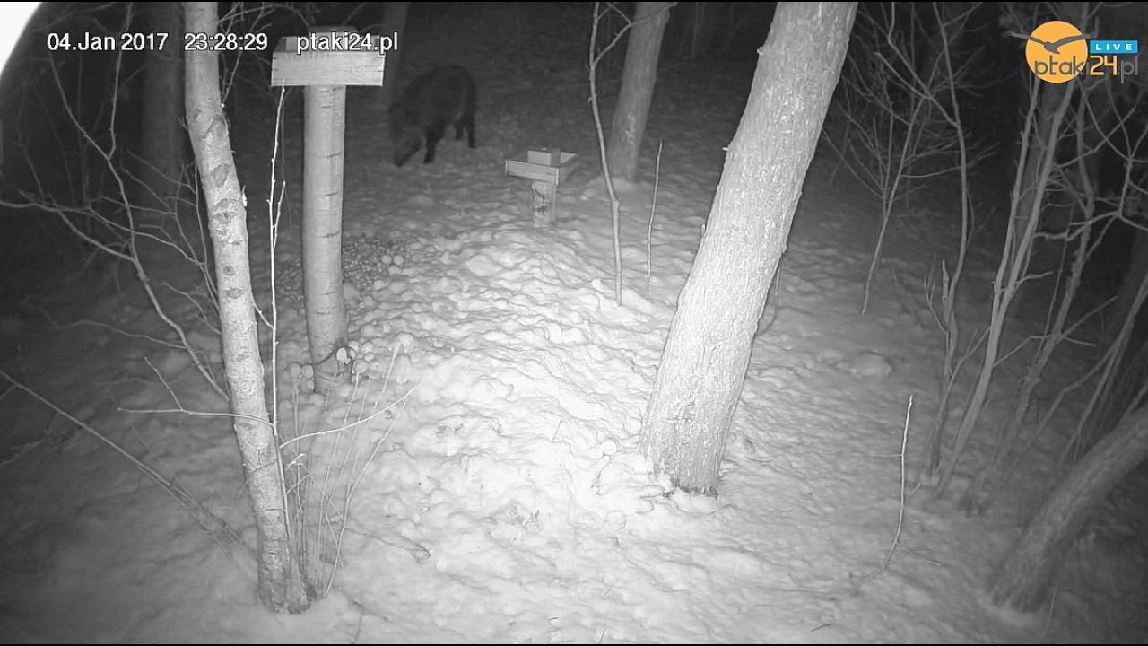Samotny i nieśmiały dzik w karmisku w lesie na Podkarpaciu