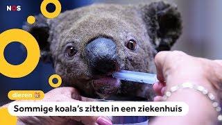 'Duizenden koala's dood door bosbranden in Australië'