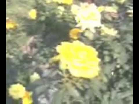 FRESH YELLOW ROSE GARDEN IN INDIA......!!!!!