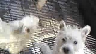 Westie West High Land White Terrier