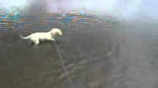 Staffordshire-bullterrier