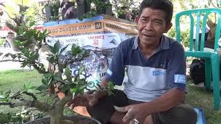Bincang bincang BONSAI dengan Bpk.SUGIONO BLITAR