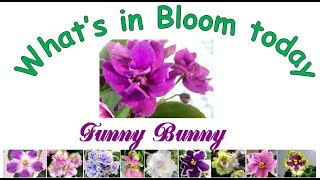 Funny Bunny, What's in bloom today from my african violet plant collection