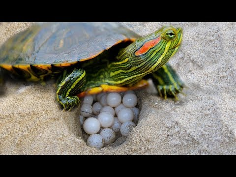Red Eared Slider Turtle Covering Her Nest And Laying Egg