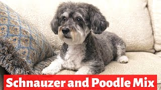 Schnoodle: Schnauzer and Poodle Mix Breed | Personality and Temperament | Should you get one?