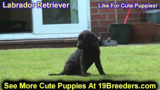 Labrador Retriever, Puppies, For, Sale, In, Minneapolis, Minnesota, Mn, Inver Grove Heights, Rosevil