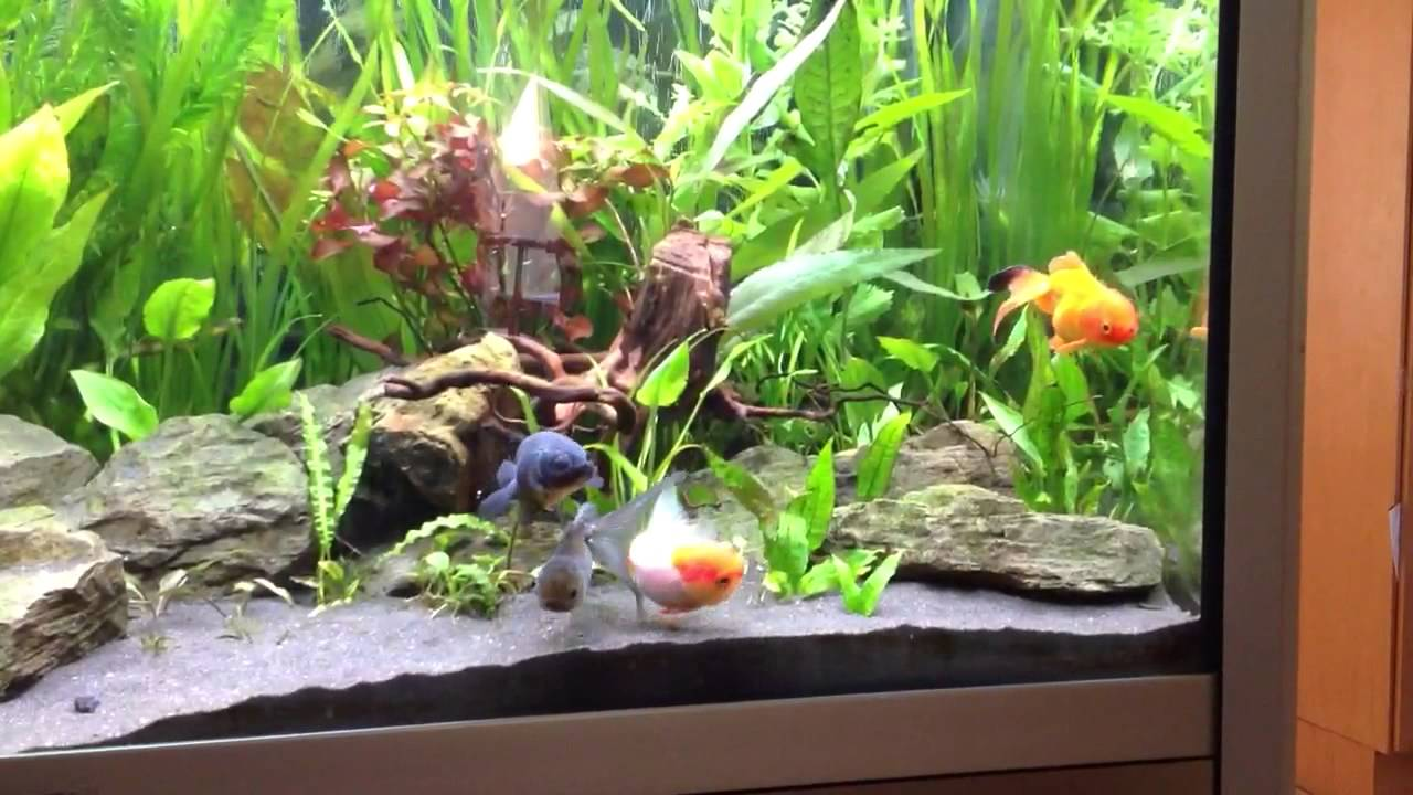 60 gallon planted fancy goldfish aquarium update 2 youtube for Fancy fish tanks