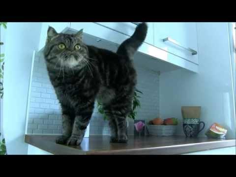 Viggo The Exotic Shorthair Cat - Dancing #3