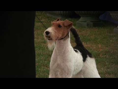 Richmond Dog Show 2016 - Terrier group FULL