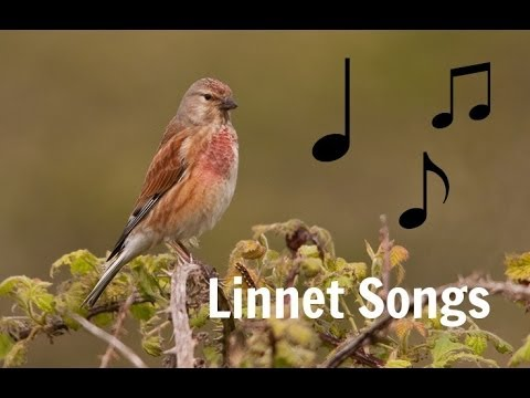 The Linnets Song