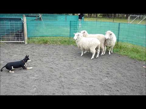 Molly  the kelpie pup at herding dog training