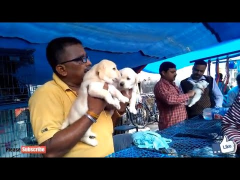 ENERGETIC GOLDEN RETRIEVER PUPPIES AT GALIFF STREET PET MARKET KOLKATA
