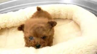 犬種:トイプードル/URL:http://nipponpet.co.jp/カラー:レッド/性...