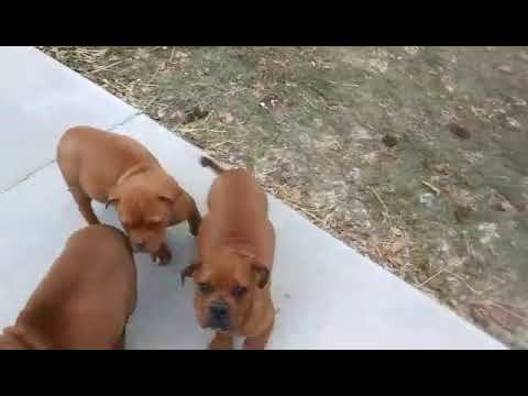 4 month old American Bandogge Pups (American Bulldog x1- Olde English Bulldogge x2)