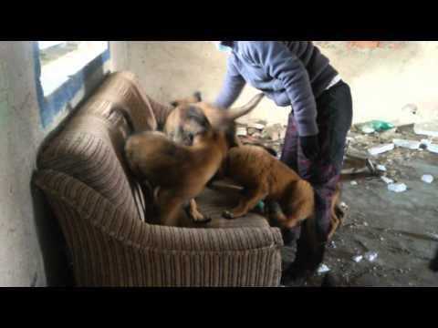 Tervueren puppies (Berkana D´Jo x Anika Destemido)-11 weeks