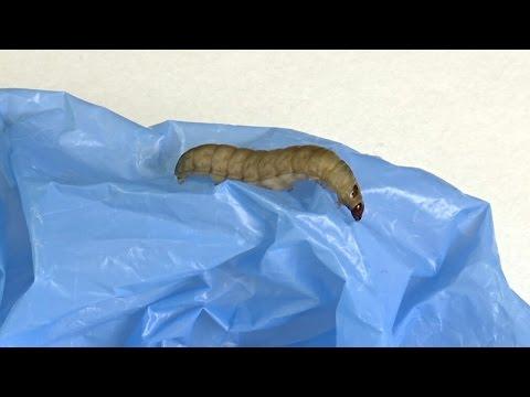 Вопрос: Правда ли что яблочные черви это личинки моли?
