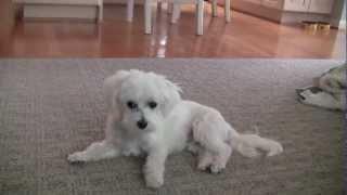 Cutest Maltese Puppy Cut!