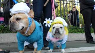The French Bulldog Smurfs At The New York City Halloween Howl Dog Parade