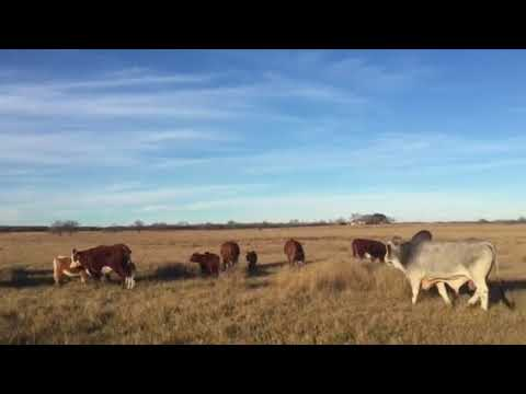 Hereford cows Calving to a Hudgins Brahman Bull