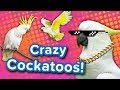 Crazy Cockatoos! // Funny Animal Compilation