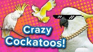 Crazy Cockatoos! // Funny Animal Compilation
