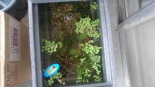 繁殖して稚魚が増えてきたのでジェックス メダカ元気 快適・繁殖ケースL...