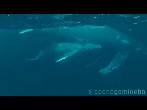 Встреча мамы кита и китенка во время вскармливания молоком