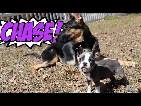 Boston Terrier VS German Shepherd PLAY TIME CHASE
