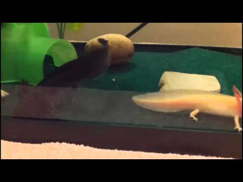 Axolotls Eating Pellets