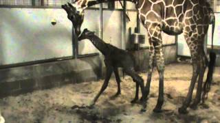 Giraffe Birth 12