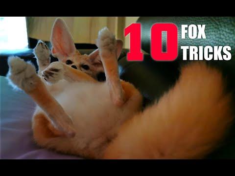 top-10-amazing-cute-dog-tricks-to-teach-your-fox!