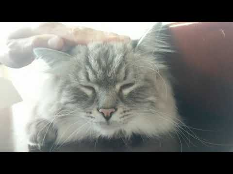 Cute fluffy Siberian cat bopping head with music 😂