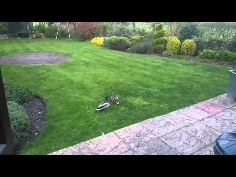 Ducks in the garden!
