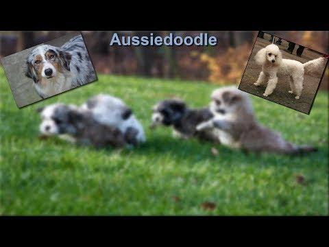 Aussiedoodle - Photos & Quick Facts About The Australian Shepherd - Poodle Mix