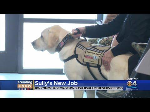 Scott Sloan - Sully, George Bush's Service Dog, Gets Job At Walter Reed Medical Center